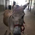 Como em Joinville não tem hospital para grandes animais, ele foi  internado em Curitiba no hospital da UFPR.