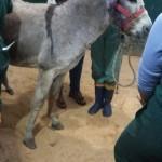 Após uns dias de tratamento em Joinville a veterinária orientou a internação.Como em Joinville não tem hospital para grandes animais foi internado em Curitiba no hospital da UFPR